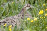Fasan (Pheasant)