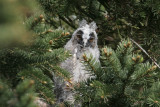 Hornuggla (Long-eared Owl) juv