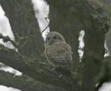 Kattuggla (Tawny Owl)