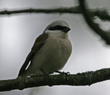 Törnskata (Red-backed Shrike)