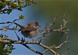 Rödstrupig sångare (Subalpine Warbler)