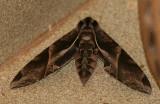 Eumorpha anchemolus