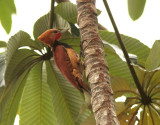 Ringed Woodpecker