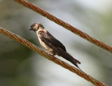 White-thighed Swallow