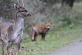 Fallow Deer and Fox