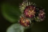 Land Urchin