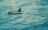 Wild Spinner Dolphins