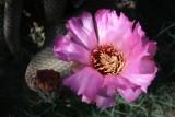 Beavertail Cactus Bloom.jpg
