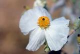 Fried Egg Flower.jpg