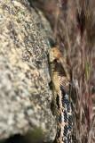1gopher snake.jpg