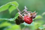 1Raspberries.jpg