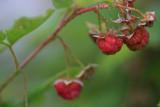 1Raspberries2.jpg