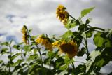 Giant Sunflowers.jpg