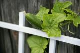 Trellis Cucumber.jpg