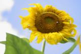 Giant Sunflower.jpg