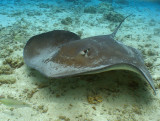 Stingray in Moorea