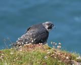 Peregrine Falcon - alarm call