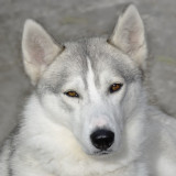 Coral - a Huskey belonging to my old friends Monica and Phil (or possibly their son)