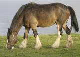 one of a group of working horses at Portscatho