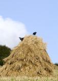 bit of traditional farming near Portscatho