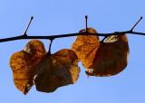 leaves of Judas Tree - Cercis Siliquastrum