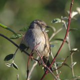 Dunnock - Prunella Modularis - I think this years hatch livening up the garden