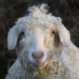 'nuther Angora Goat; her hair almost as much of a mess as mine!