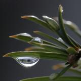 snow melt on yew needles