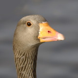 Goose - 1 of several thousand gawkers and squakers at Slimbridge WWT