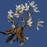June berry, but April blossom
