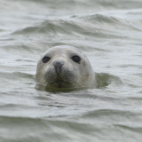 Seal off Blakeney point