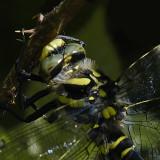 Golden-ringed Dragonfly - Cordulegaster boltonii - head detail