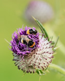 bee on woolly thistle season
