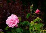 rose in a hedge
