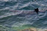 Basking shark - cetorhinidae - near Gwennap Head Cornwall