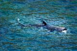 Basking shark - cetorhinidae - venting out