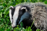 badger in broad daylight