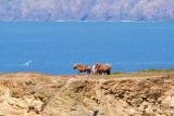 Portreath ponies