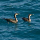Cormorants (or Shags?) off Navax point