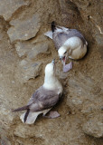 Seagull squabble
