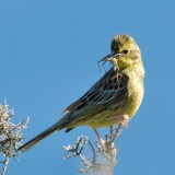 Yellowhammer on Rosen cliff
