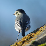 Pied Wagtail 'Motacilla alba yarrellii' an unusual visitor on our roof
