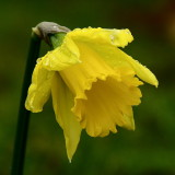 Daffodil - cultivated forms revert to this