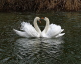 swans in love - adjacent to Haughton Mill