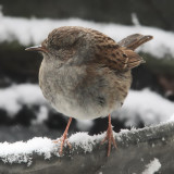 Dunnock tidying our kitchen scraps just outside the window