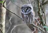 Tengmalm's Owl (Pärluggla) Aegolius funereus