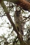 Long-eared Owl (Hornuggla) Asio otus