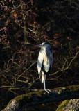 Grey Heron (Gråhäger) Ardea cinerea