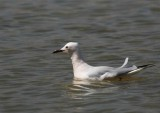 Slender-billed Gull (Långnäbbad mås) Larus genei