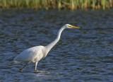 Great White Egret (Ägretthäger) Egretta alba